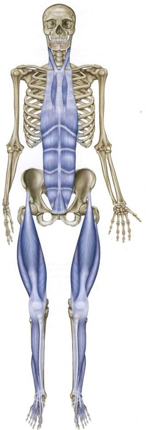 """Анатомические цепи. Миофасциальные цепи – анатомические поезда. Как мозг """"видит""""мышцы"""