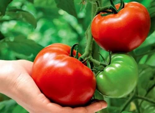 Сколько ккал в помидорах. Помидор для похудения: калорийность и диета