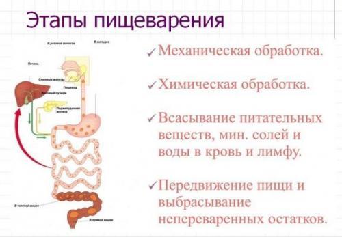 Процесс пищеварения в организме человека схема. Работа тонкого и толстого кишечников